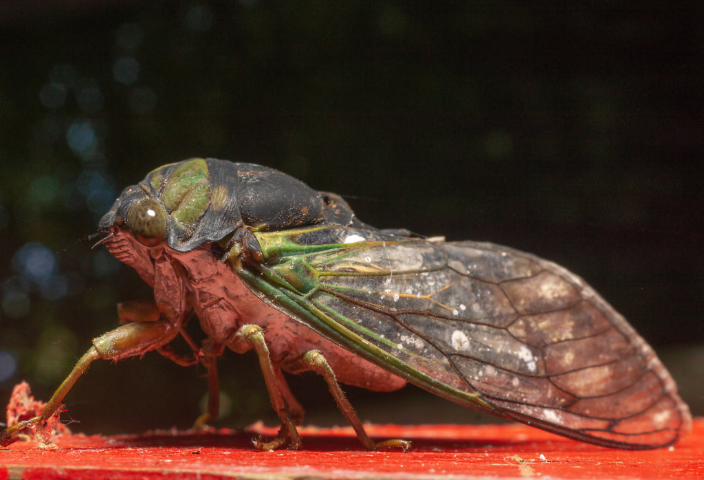 Cicada Chilling out